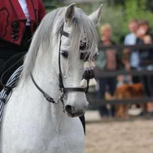 cavallo andaluso dressage
